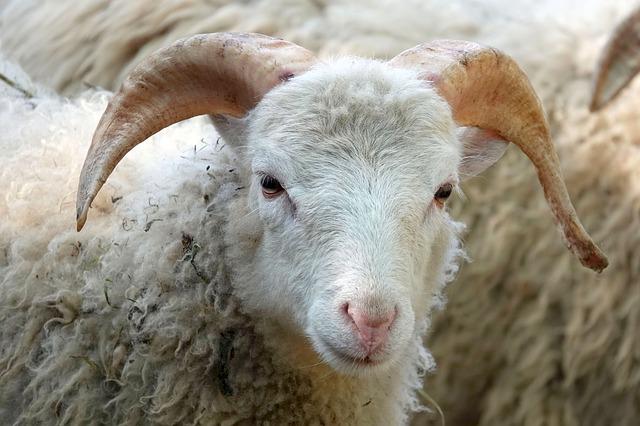 「羊」と「山羊」の違いって? | ことくらべ